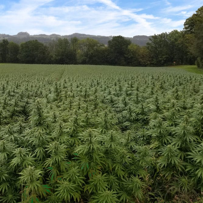 Pure CBD hemp plants growing outdoors in a field