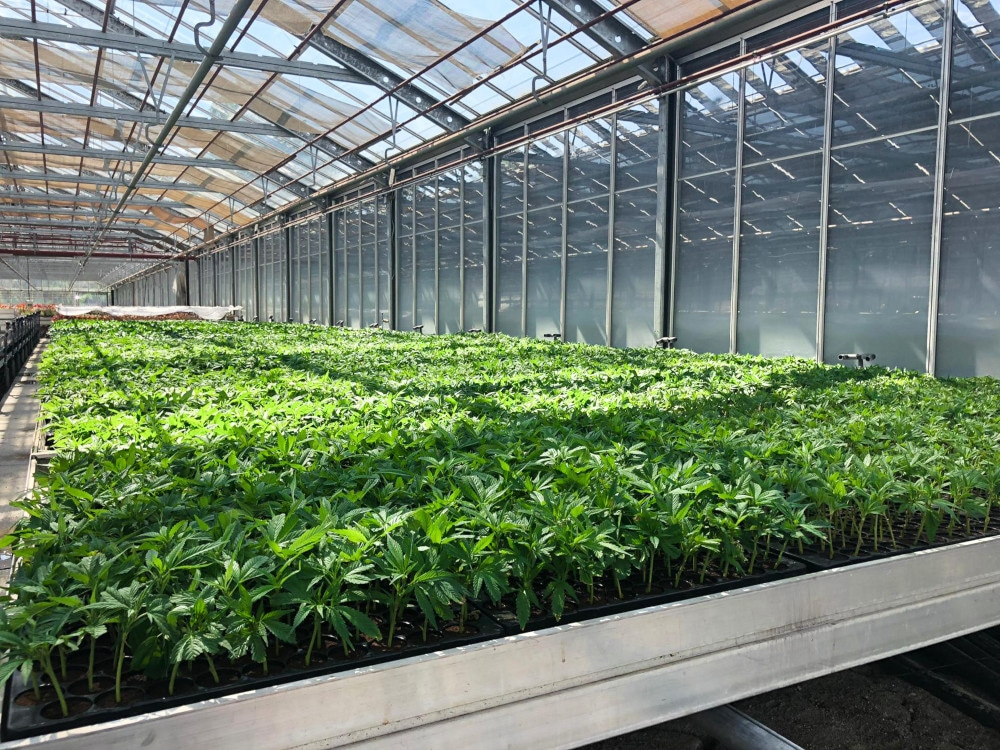 Thousands of Pure CBG Hemp Clones growing in a clean and controlled greenhouse