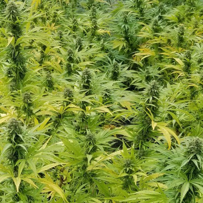 Hemp plants growing in field.