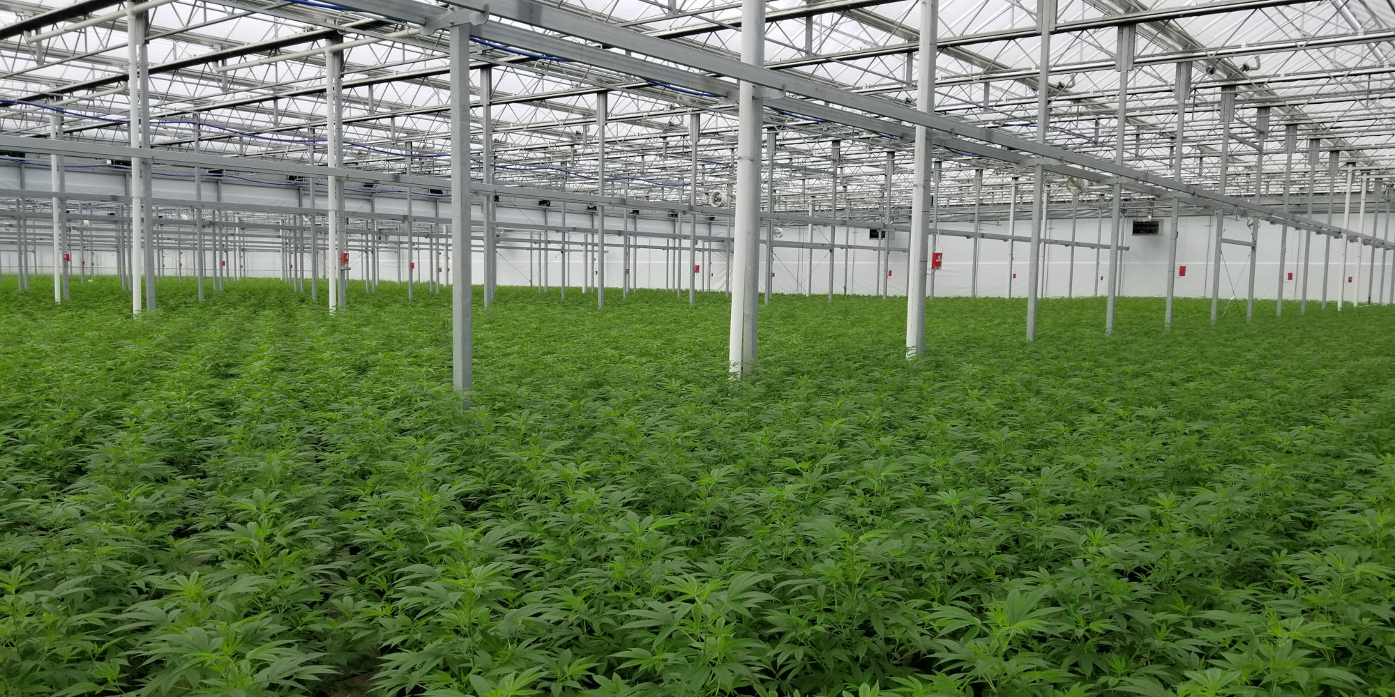 Green hemp plants in greenhouse.