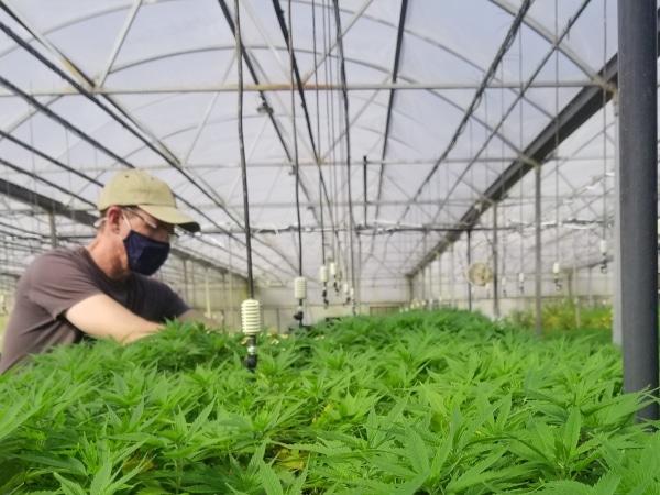 Man in mask looking at hemp plants.