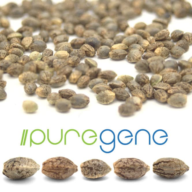 Hemp seeds on white background.