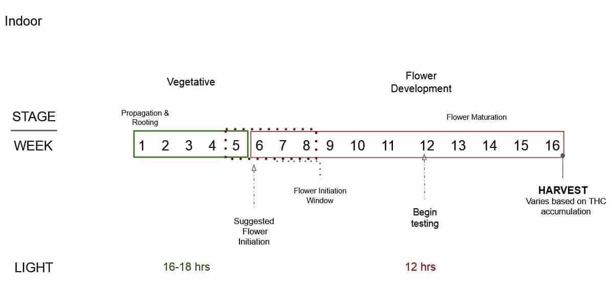 Indoor growing hemp weekly cycle from propagation to vegetative growth to flowering to harvest.