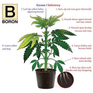 Nutrient deficiency hemp plant illustration for Boron.