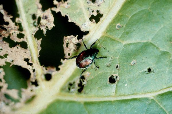 Japanese Beetle on hemp leaf.
