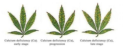 Calcium deficiency for hemp leaf.