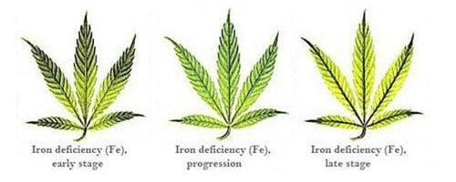 Iron deficiency for hemp leaf.