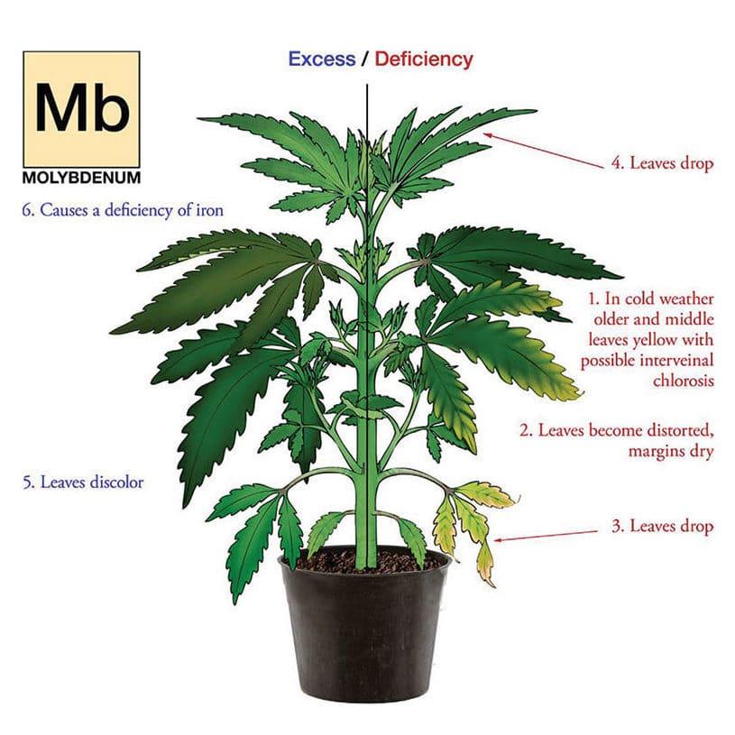 Nutrient deficiency hemp plant illustration for Molybdenum.