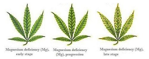 Magnesium deficiency for hemp leaf.
