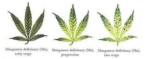 Manganese deficiency for hemp leaf.