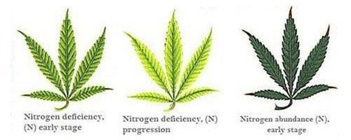 Nitrogen deficiency for hemp leaf.