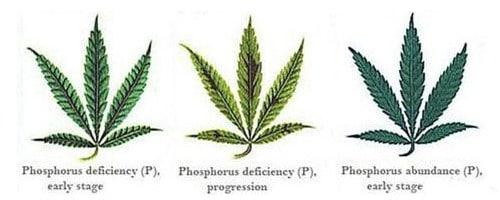 Phosphorus deficiency for hemp leaf.