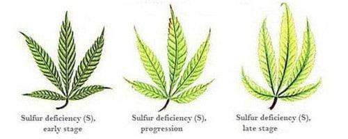 Sulfur deficiency for hemp leaf.