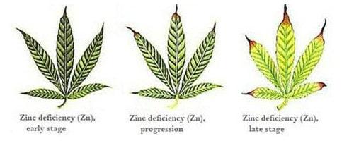 Zinc deficiency for hemp leaf.