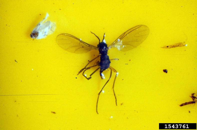 Fungus Gnat on yellow paper.