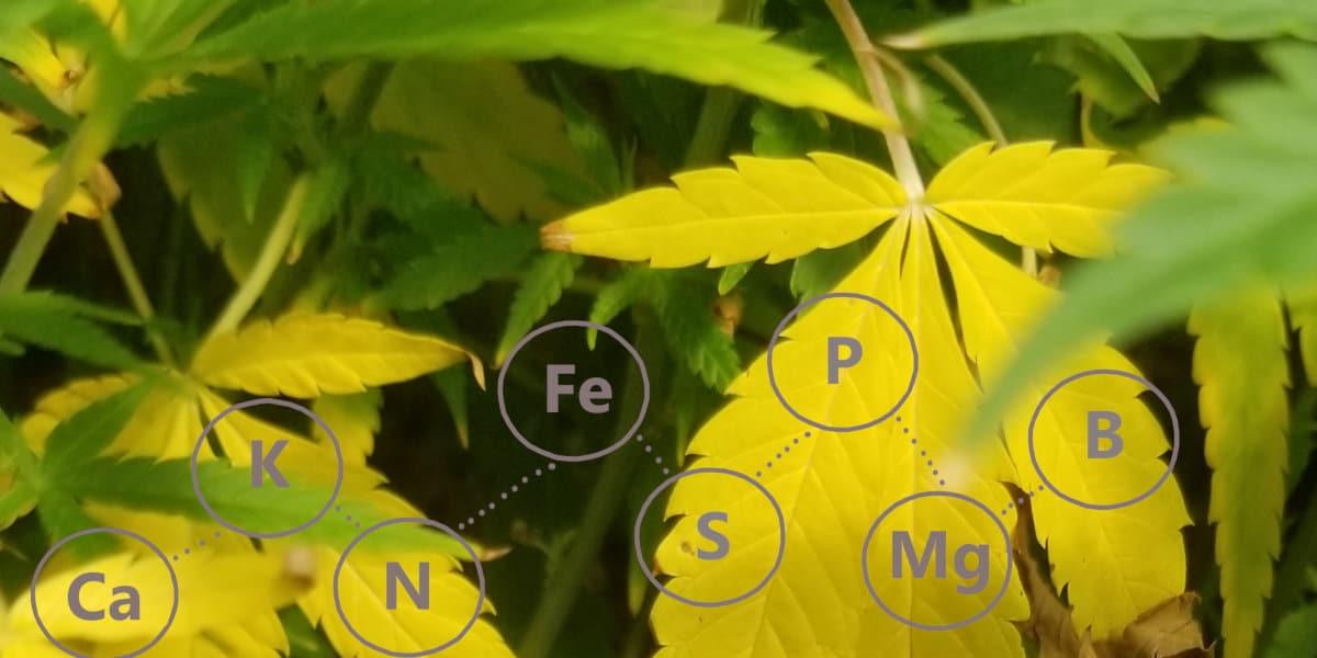 Nutrient Deficient Hemp Leaves.
