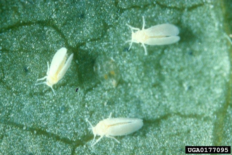 Whiteflies on hemp leaf.