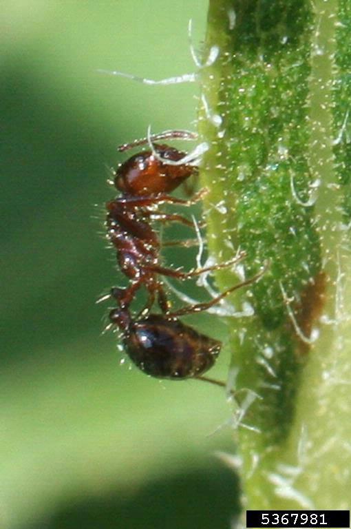 Fire Ant on hemp leaf.