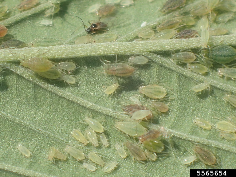 Cannabis Aphids on hemp leaf.